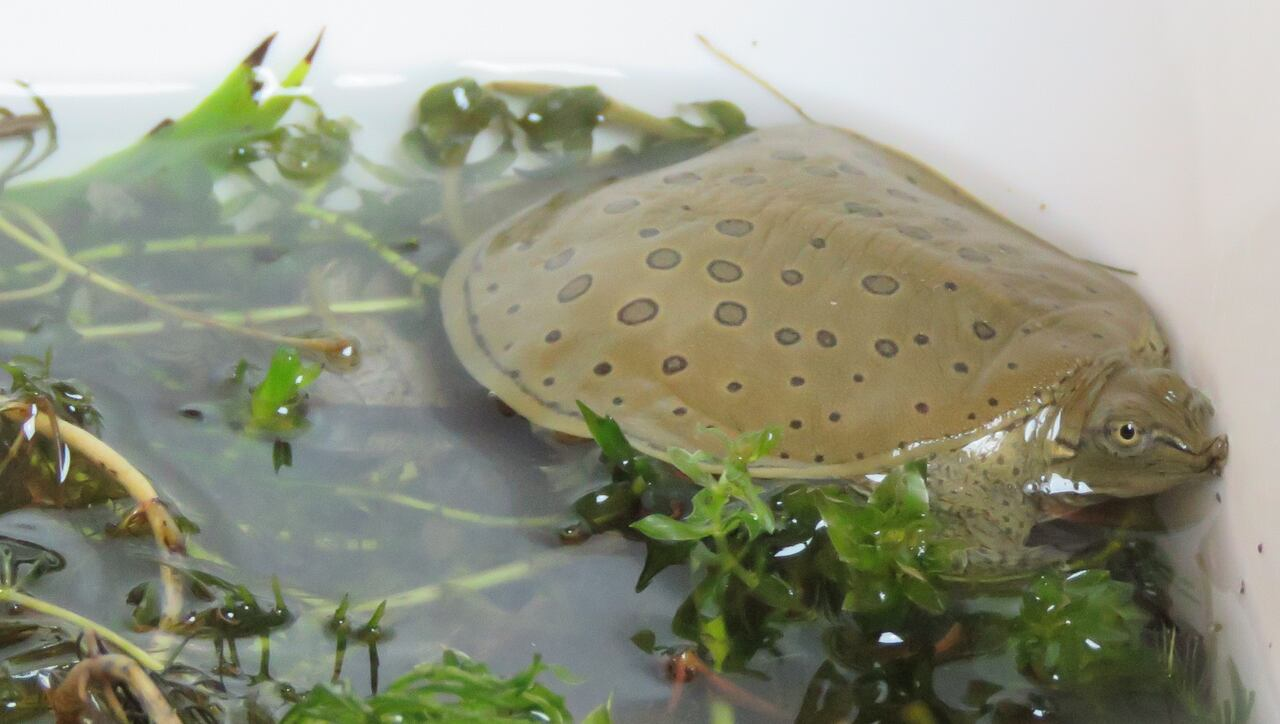Transform Your Softshell Turtle Bite